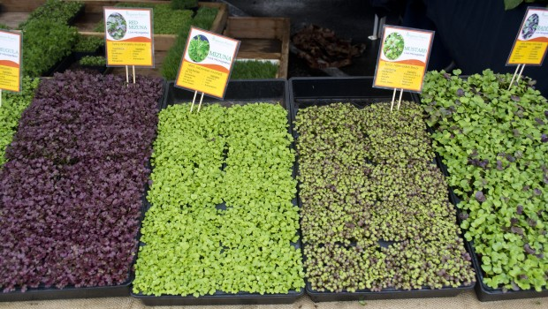 The Magic of Microgreens