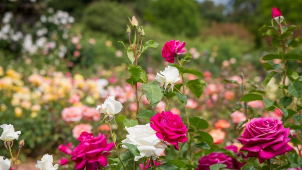 Feeding Your Roses: What's On the Menu?