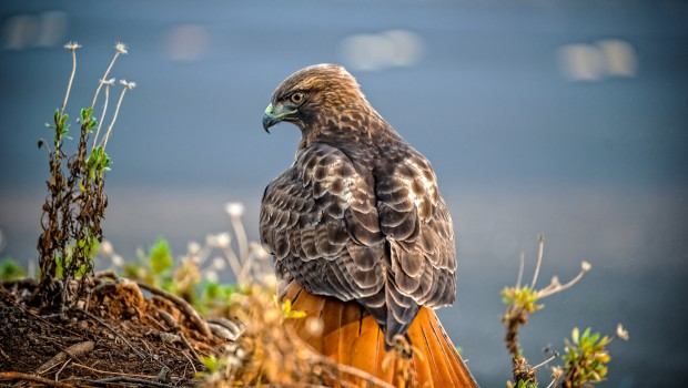 Living Around Mt. Diablo — Red Tail Hawk