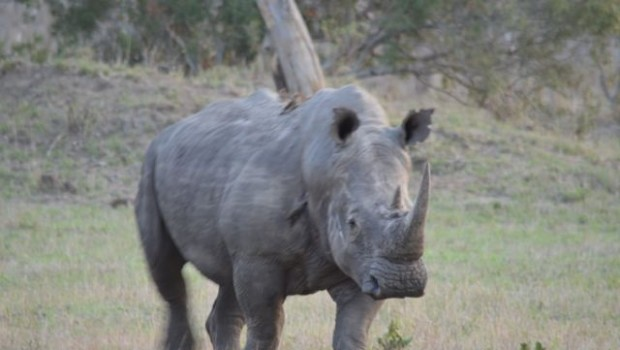 ARE RHINOS TOO VALUABLE TO SAVE?