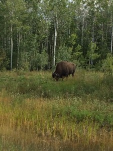 Canada Wood Bison