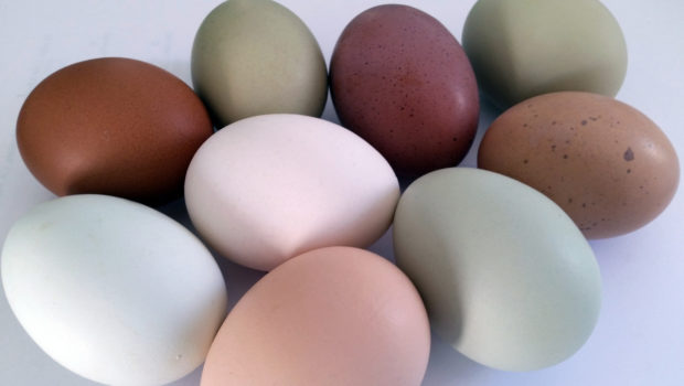 Farm-Fresh Eggs in a Rainbow of Colors