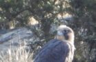 Mount Diablo peregrines stooping their way back from the cliff of extinction
