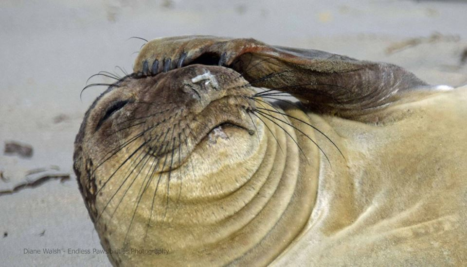 Elephant Seals: Back from the Brink of Extinction